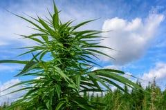 Marihuana und blauer Himmel Stockbild