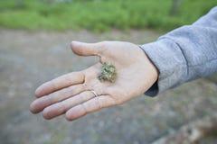 Marihuana-Unkraut Stockfoto
