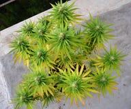 Marihuana w flowerpot Obrazy Royalty Free