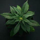 Marihuana w garnek roślinności Obraz Stock