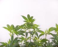 Marihuana zasadza dorośnięcie indoors odizolowywającego nad białym tłem fotografia stock