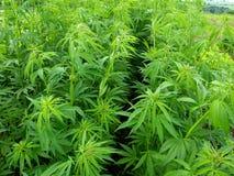 marihuana zasadza potomstwa Zdjęcia Royalty Free