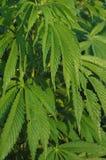 Marihuanaanlagen Stockfotografie