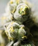 Marihuanablumenknospen Stockfotografie