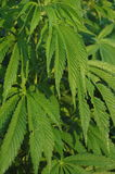 Marihuanainstallaties Stock Fotografie