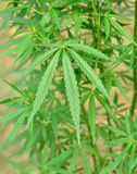 Marihuanainstallaties Stock Foto's