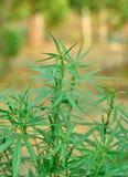 Marihuanainstallaties Stock Afbeelding