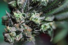 Marihuanaknop Stock Foto