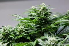 Marihuanaknop Stock Afbeelding