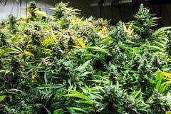 Marihuanaknoppen in een overzees van groen Stock Afbeeldingen
