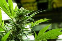 Marihuanaknospen und -blätter Lizenzfreies Stockbild