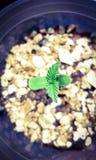 Marihuany kiełkowanie fotografia royalty free