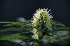 Marihuany kwitną - Kwitnący marihuany rośliny z wczesnym bielem płynie zdjęcie stock