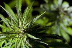 Marihuany Roślina szczegółowa Fotografia Zdjęcia Stock