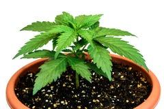 Marihuany roślina w kwiatu garnku odizolowywającym na białym tle Zdjęcia Royalty Free