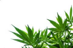 Marihuany rośliny tło obraz royalty free