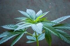 Marihuany rośliny zakończenie up Obrazy Stock