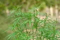 Marihuany roślina Zdjęcie Stock