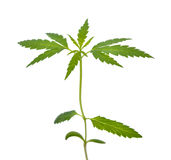 Marihuany rozsada Obrazy Royalty Free