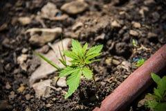 Marihuany uprawa Zdjęcie Royalty Free