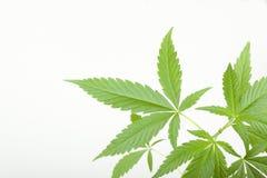 Marihuany zasadzają, marihuana na białym tle obrazy stock