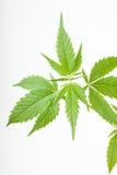 Marihuany zasadzają, marihuana na białym tle obraz royalty free