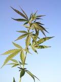Marijuana Fotografie Stock