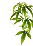 Marijuana. Border.Isolated on a white background royalty free stock photo