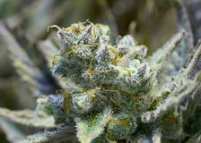 Marijuana. Premium marijuana bud with orange hairs and crystals Royalty Free Stock Photography