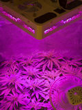 marijuana Fotografia Stock
