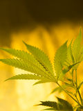 marijuana fotografia stock libera da diritti
