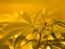 marijuana Fotografia de Stock Royalty Free