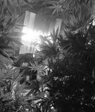 marijuana immagini stock libere da diritti