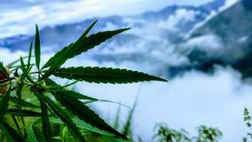 marijuana Arkivfoto