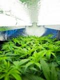 marijuana immagini stock