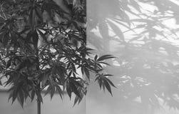 marijuana photo stock