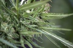 Marijuana Fotos de archivo libres de regalías