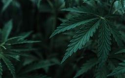 Marijuana  background. bush cannabis. Royalty Free Stock Images