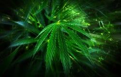 Marijuana  background. bush cannabis. Royalty Free Stock Image