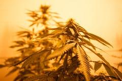 Marijuana Bud Close Up della luce gialla Immagine Stock Libera da Diritti
