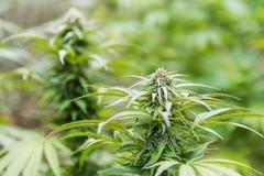 Marijuana bud Royalty Free Stock Photo