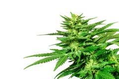 Marijuana bud isolated on white background Stock Images
