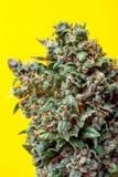 Marijuana bud on a yellow background Royalty Free Stock Photography