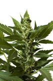 Marijuana cannabis close up blossom background wallpaper Stock Photo