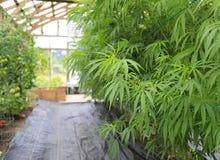 Marijuana (cannabis), hampaväxt som inom växer av det grönt ho arkivfoton