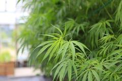 Marijuana ( cannabis), hemp plant growing inside of the green ho royalty free stock photo