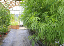 Marijuana ( cannabis), hemp plant growing inside of the green ho Stock Photos