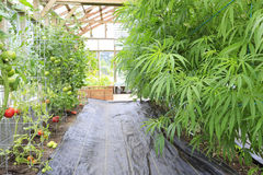 Marijuana ( cannabis), hemp plant growing inside of the green ho Stock Photography