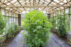 Marijuana ( cannabis), hemp plant growing inside of the green ho. Use in private garden of Washington State. Legal Medical marijuana law in US. Grower uses stock photos