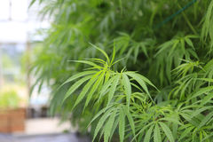 Free Marijuana ( Cannabis), Hemp Plant Growing Inside Of The Green Ho Royalty Free Stock Photo - 38207145